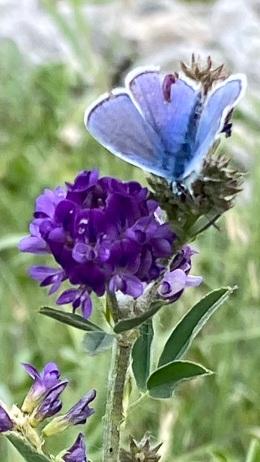 Bleu argenté et sauge