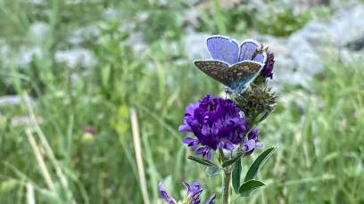 Silvery blue & sage