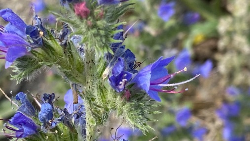 Vipérine / Viper's bugloss (Echium vulgare)