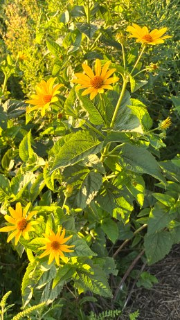 Heliopsis helianthoides ?