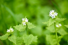 Alliaria petiolata / garlic mustard
