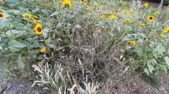 Herbe à poux brûlé par l'herbicide