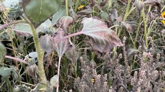 Tournesol aussi brûlé par l'herbicide