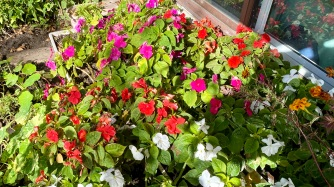 Impatiens walleriana (2020/10/24)