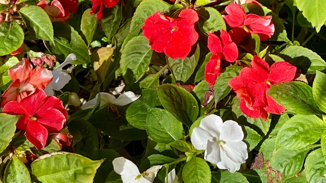 Impatiens walleriana - detail (2020/10/24)