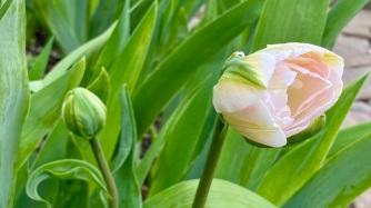 Tulipe fleurie (jeudi, 04/29)