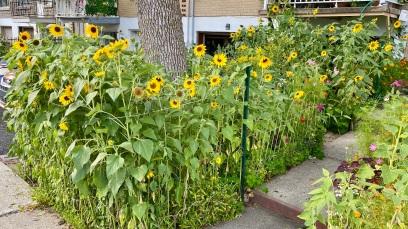 Sunflowers garden (2021/07/31)