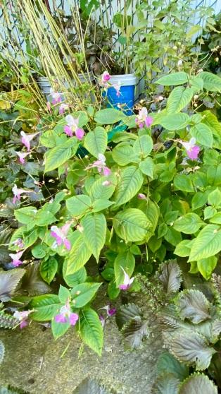 Impatiens Balfourii - Balfour's touch-me-not - poor man's orchid - kashmir balsam
