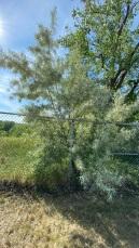 Tree (summer)